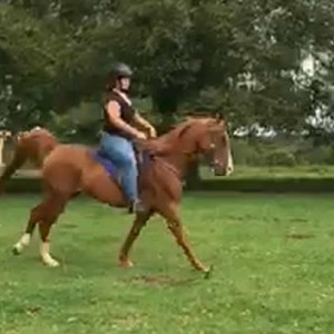 Arabian Gelding 5yrs 15hh