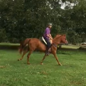 Arabian Warmblood 3yrs