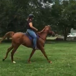 Arabian gelding 5 yrs